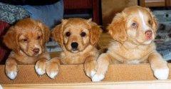 Från vänster Fanzy, Bella och Dingo